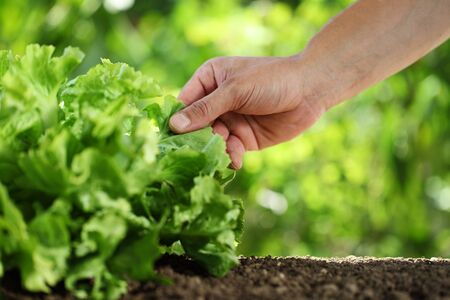 Hand picking green fresh lettuce plant in vegetable garden, close up on the soil