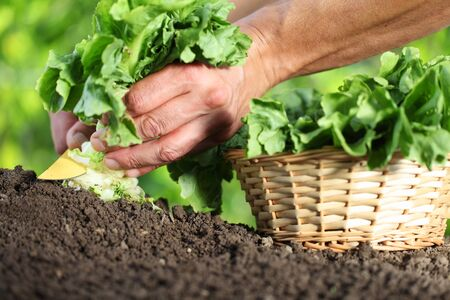 work in vegetable garden, hands picking fresh green lettuce with knife and the wicker basket, close up on the soil