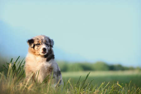 puppy dog, australian shepherd. sitting on green grass, image with wide blue sky with copy space, suitable for advertising poster template