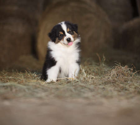 puppy dog, australian shepherd sitting on the hay on a farm, with copy space, suitable for advertising poster template Reklamní fotografie
