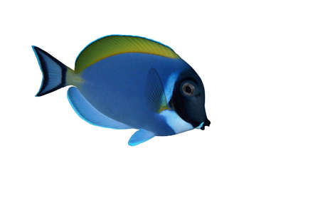 Powder blue surgeon fish photo