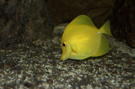sailfin: Yellow sailfin tang in fishtank