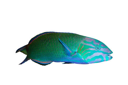 moon fish: Moon wrasse aquarium fish ( thalassoma lunare ) isolated over white Stock Photo