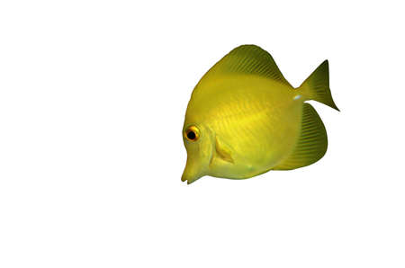 sailfin: Yellow sailfin tang, fish isolated over white