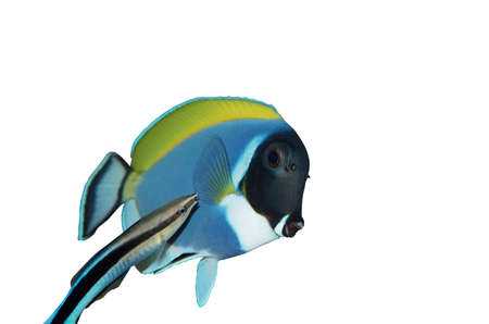 surgeon fish: surgeon fish and bluestreak cleaner wrasse isolated over white Stock Photo
