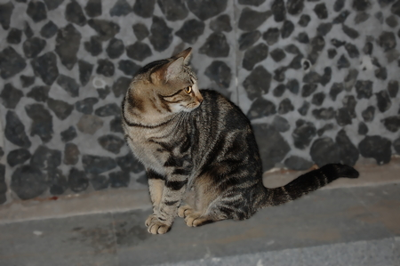 brindle: Sitting brindle gray cat with yellow eyes