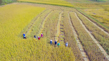 Viele Landwirte ernten Reis auf Ackerland. Ernten ist der Prozess des Sammelns einer reifen Ernte von den Feldern. Ernten ist das Schneiden von Getreide oder Hülsenfrüchten für die Ernte, Foto von oben