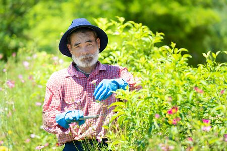 Senior man cutting dried buds from the tree in garden at home,Copy space.