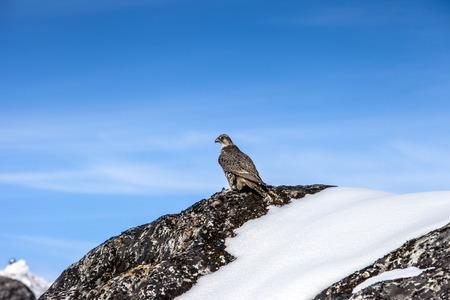Falcon bird in the winter nountains