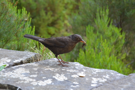 Black wild bird eating an earthworm in a forest on the island of Madeira Banque d'images - 120079876