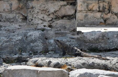 Beautiful gray iguana resting on one of the stones of the ancient city of Tulum in the Mexican Caribbean