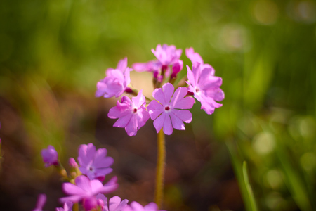 Wild Phlox wildflowers of Central, bright colors, Sunny day summer. Stock Photo