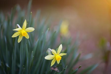 Bloeiende gele gele narcissen bij hun de zomerplattelandshuisje in de lente Zonnige dag. Stockfoto