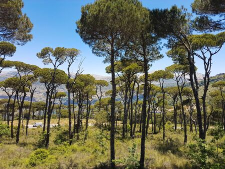 Grove of beautiful trees in the mountains, Lebanon.