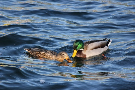 web footed: Mallard Duck
