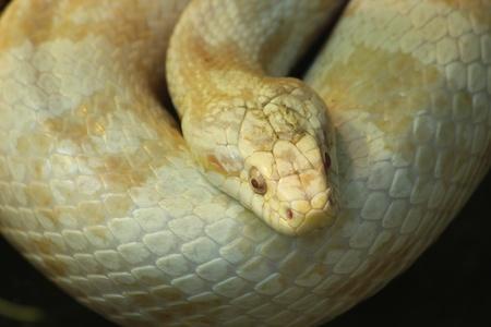 colubridae: White Snake
