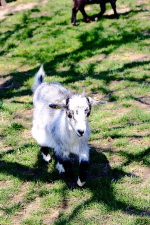 pygmy goat: Pygmy goat