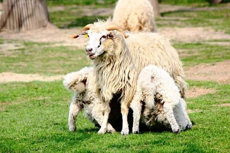a white sheep on a farm photo