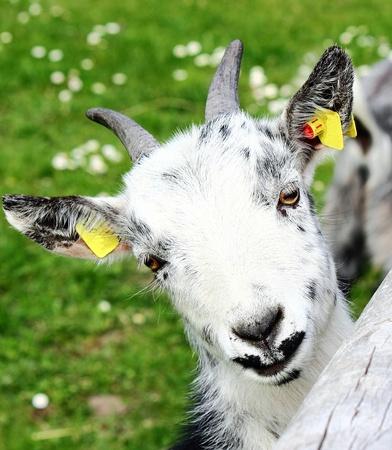 Pygmy goat Stock Photo - 13072410
