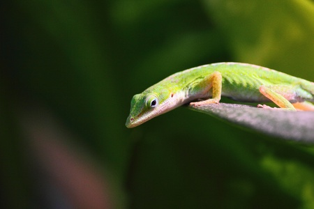 a green Carolina anole photo