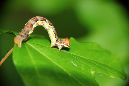 a larva on a leaf photo