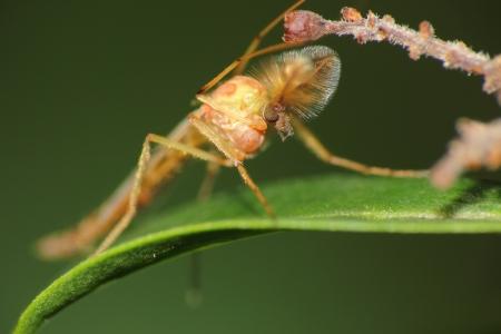 chironomidae Stock Photo - 15012303