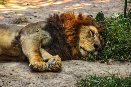 this is photo of a lion sleeping on the grass with best quality and high resolution for you. Zdjęcie Seryjne