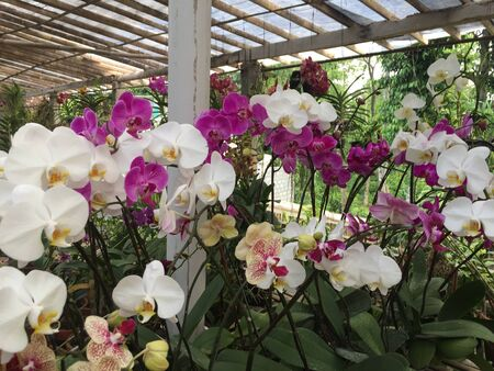 Orchid flowers are purple and white with green leaves Stock Photo