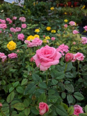 pink roses with thorny tanks with motion blur Stock Photo