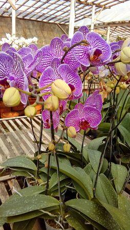 hanging purple orchids