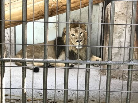a lion is sitting casually in an iron cage