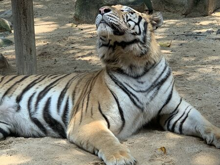 a tiger is sitting while looking up in a cage