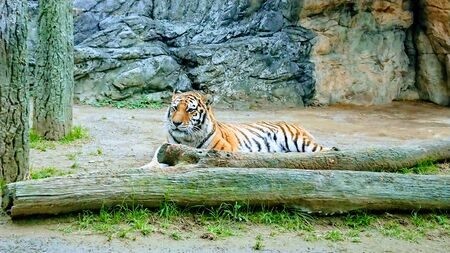 a striped tiger sitting in a glass cage Stockfoto