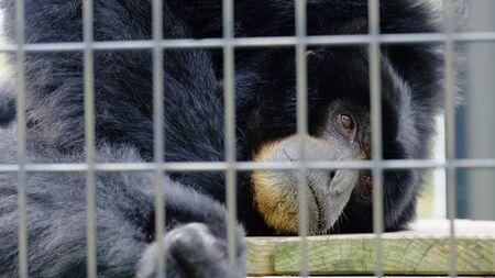 a black monkey is sad in an iron cage 版權商用圖片