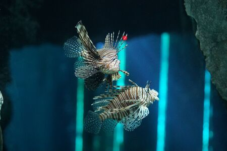 two lion fish swimming in clear water in the aquarium