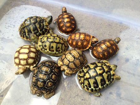 orde di tartarughe colorate nuotano in scatole di plastica