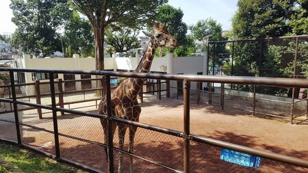 a giraffe in an iron cage with soil underneath