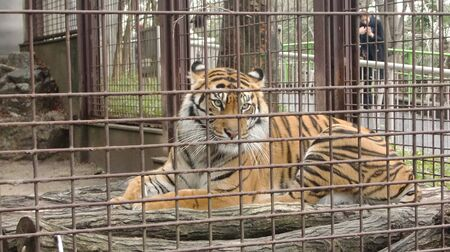 a tiger is sitting sad in an iron cage