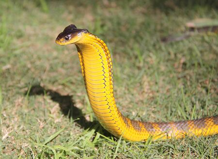 a yellow snake with a black color is preparing to attack its prey on the grass 스톡 콘텐츠