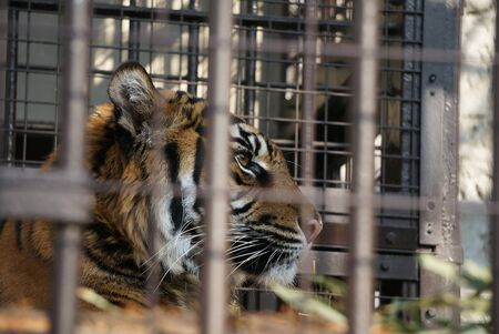 a tiger is daydreaming in its iron cage Stock Photo