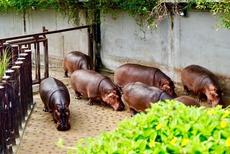 hippopotamus hordes are running after bathing from inside the cage