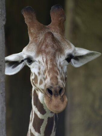 a giraffe with elongated mouth against a background of blur Stockfoto