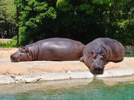 two hippopotamus are sleeping and sunbathing by the water