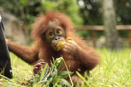 an orangutan child is eating fruit on the grass with a blur background
