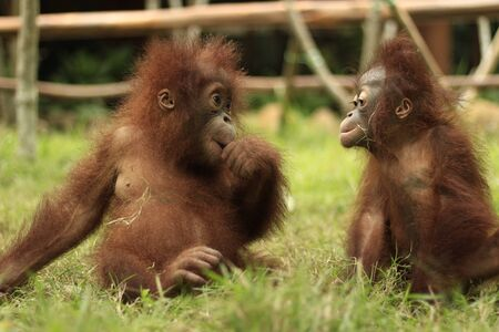 two orangutan children are eating fruit on the grass with a blur background