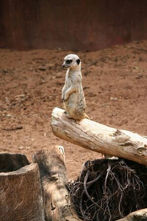 a white weasel on a dry tree trunk in a desert setting