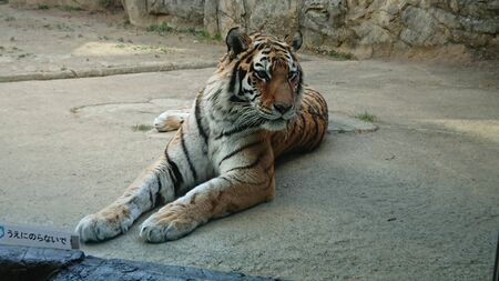 a tiger is sitting leisurely on the concrete in its cage