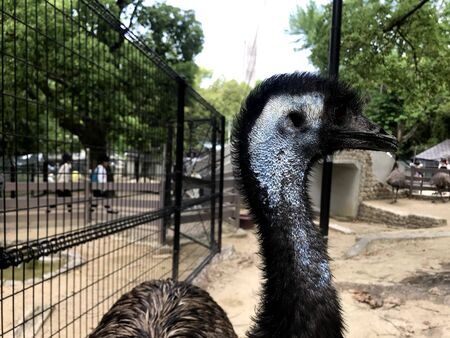 a black ostrich was looking inside the cage