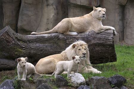 hordes of white lions are sitting in a tree in a cage
