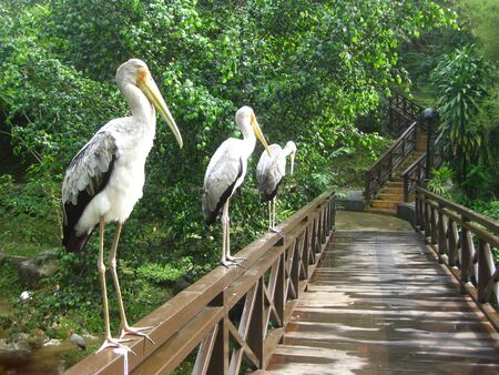 three white cranes perched on a wooden bridge
